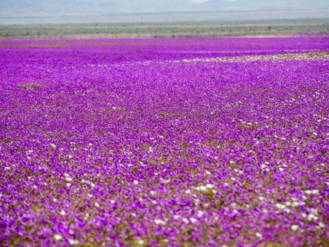 阿塔卡瑪沙漠大片鮮花綻放