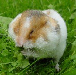 食用蒲公英葉片的敘利亞倉鼠